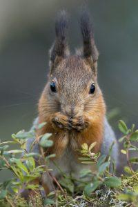 Orava, kuva:Tero Pelkonen / Kuopion Luonnon Ystäväin Yhdistys