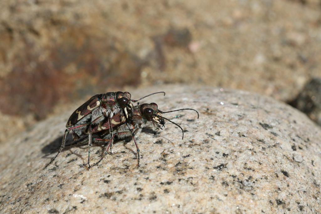 Hietikkokiitäjäinen (Cicindela hybrida)