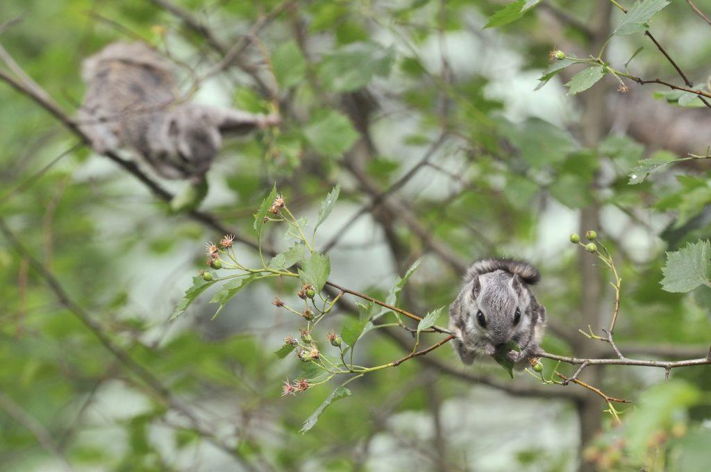 Liito-oravaemo ja poikanen ruokailemassa orapihlajan oksilla