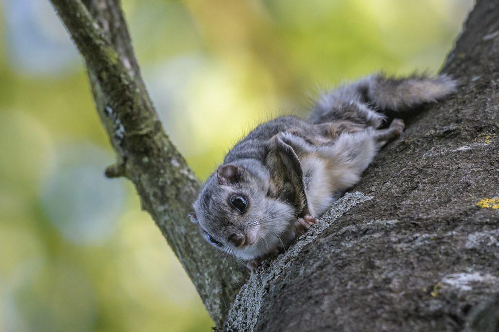 Liito-orava puun rungolla