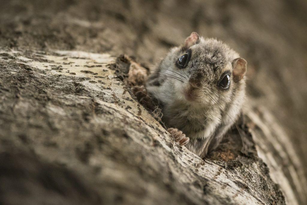 Liito-orava kurkkaa kolostaan